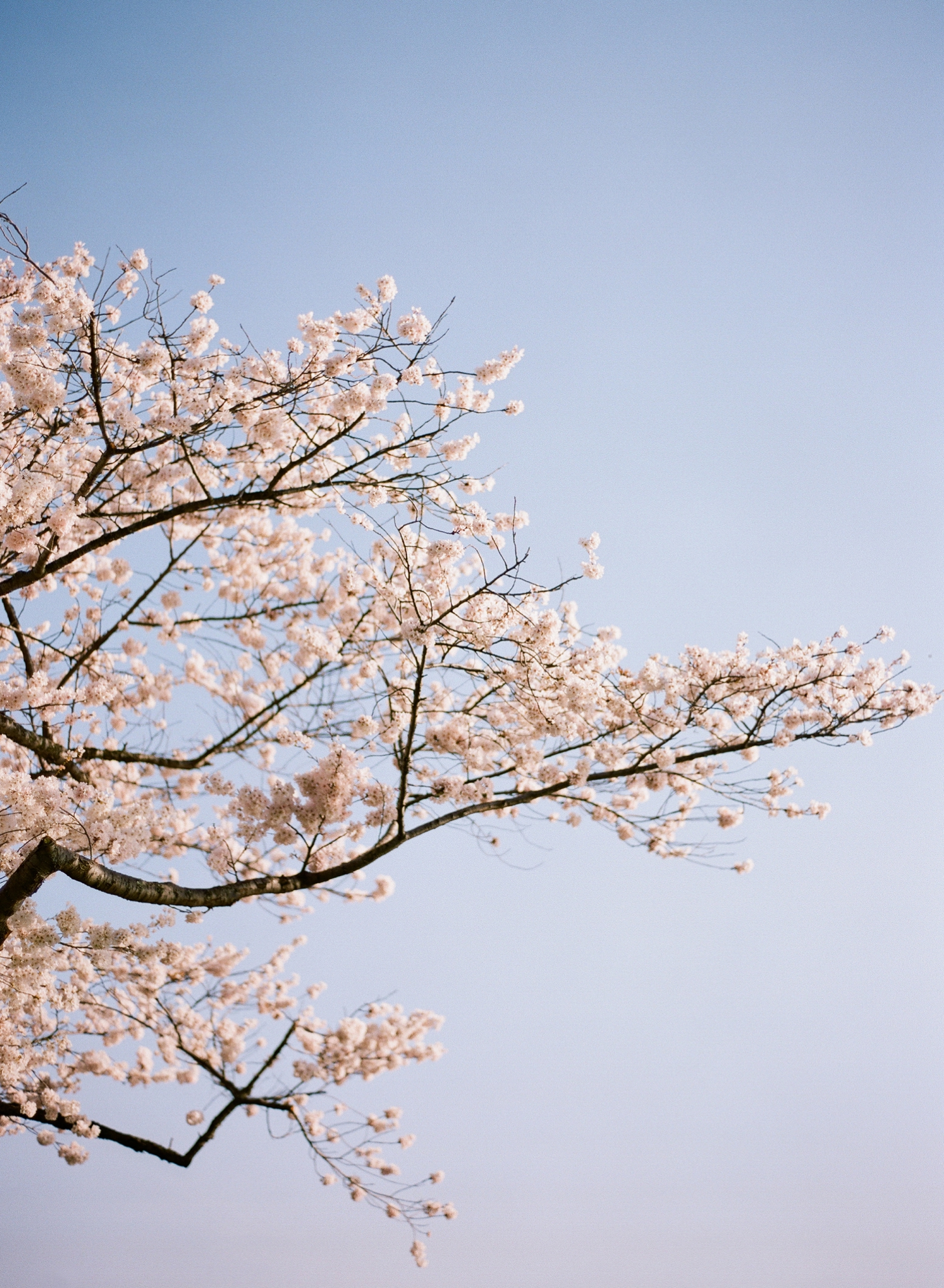 Washington DC cherry blossoms I film photographer Audra Wrisley