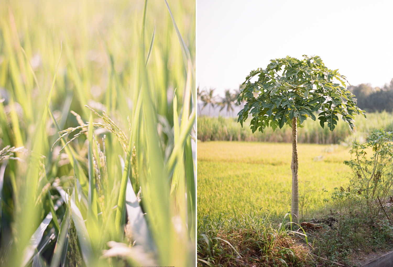 javanese rice fields