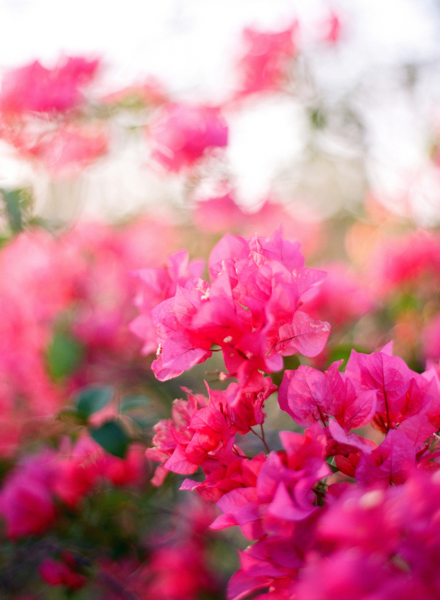 bougainvillea fine art film photography